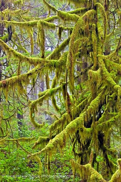 Stock photo of Moss covered tree rain forest trail Hot Springs Cove Openit Peninsula Maquinna Provincial Park