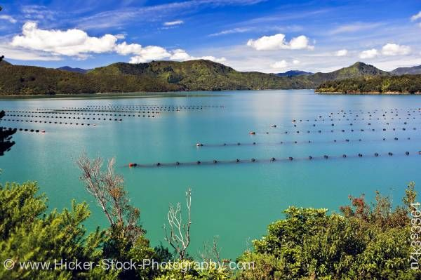 Stock photo of Mussel Farm in Kenepuru Sound Waitaria in Waitaria Bay Marlborough South Island New Zealand
