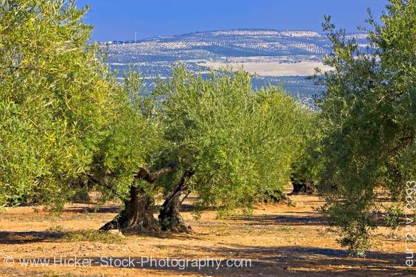 Stock photo of Olive trees near Museo de la Cultura de Oliva (Museum of the Olive) near town of Baeza