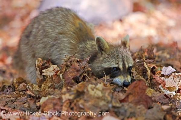 Stock photo of Raccoon Procyon lotor foraging George Lake, Killarney Provincial Park Ontario Canada