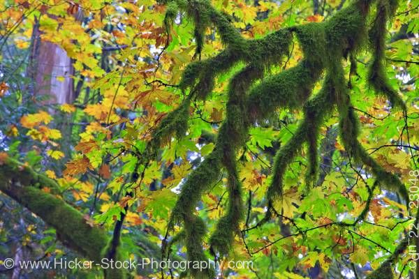 Stock photo of Moss covered branches golden leaves in fall in rain forest of Goldstream Provincial Park Victoria