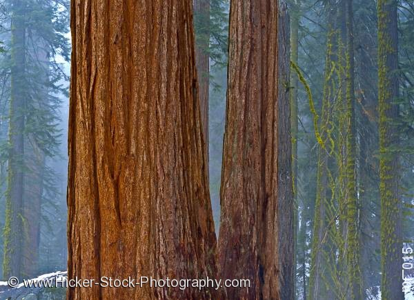 Stock photo of Trees Sequoia National Park California USA North America