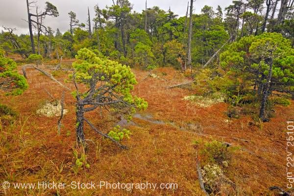 Stock photo of Shore Pine Trees Sphagnum Moss Pacific Rim National Park Vancouver Island British Columbia Canada