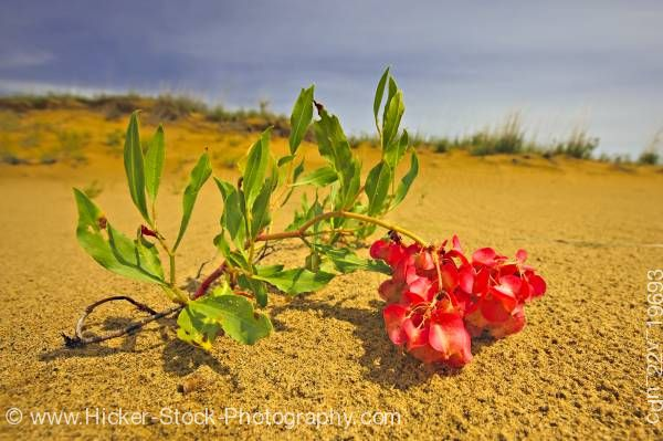 Stock photo of Hardy plant Spirit Sands Trail Spruce Woods Provincial Park Manitoba Canada