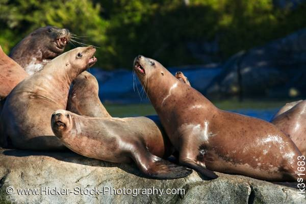 Stock photo of Steller Sea Lions Broughton Archipelago Fife British Columbia