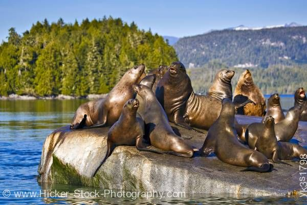 Stock photo of Steller Sea Lions Broughton Archipelago Fife British Columbia Canada