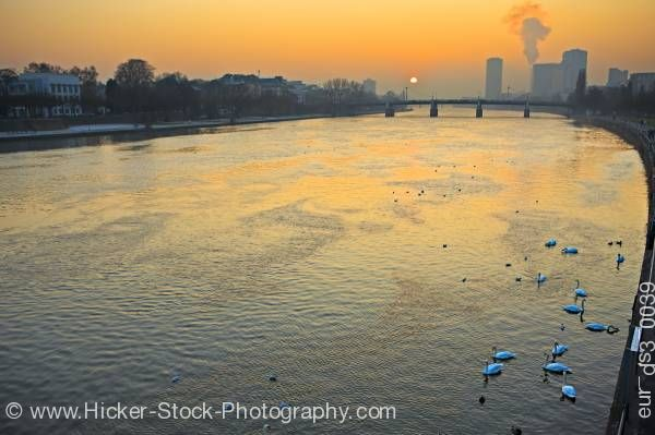 Stock photo of Swans Main River at sunset back dropped by the city of Frankfurt Hessen Germany Europe