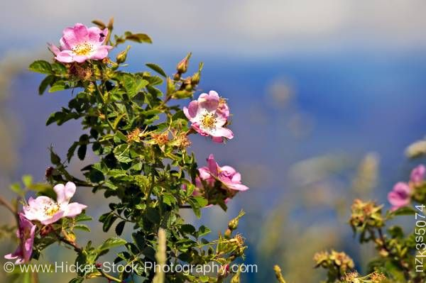 Stock photo of Sweet Briar Rosa rubiginosa Lake Wanaka Central Otago South Island New Zealand