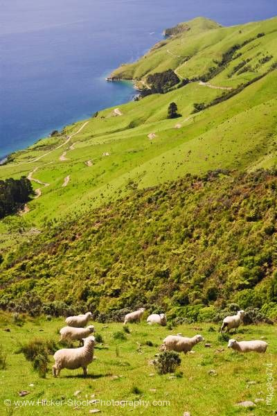 Stock photo of Sheep Hillside view overlooking Titirangi Bay Marlborough South Island New Zealand