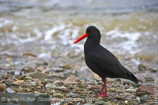 Stock photo of Variable Oystercatcher Haematopus unicolor
