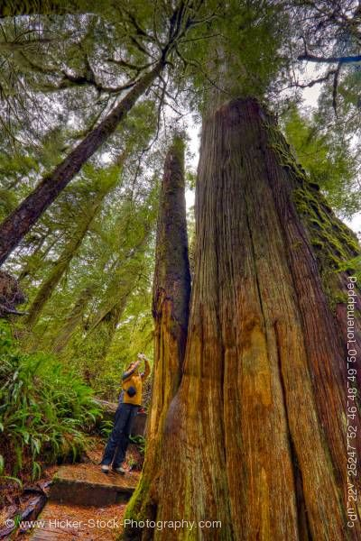 Western Red Cedar Tree ~ Western redcedar trees rainforest trail pacific rim