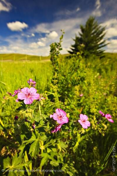 Stock photo of Wild rose flowers Elkwater Lake Cypress Hills Interprovincial Park Alberta Canada
